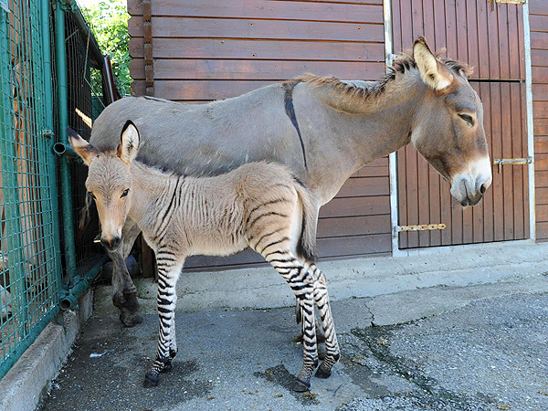 Zonkey: Mexican Zoo Puts Rare Donkey-Zebra Calf on Display