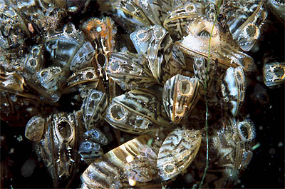 Manitoba Harbors to be Closed a Fortnight to Combat Invasive Zebra Mussels