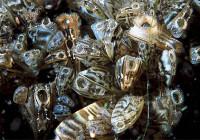 Inspectors Prevent Two Zebra Mussel Contaminated Boats from Entering Albertato Use Potassium Potash to Crush Zebra Mussels