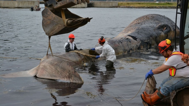 Large, Rotting Fin Whale Taken Out To Sea