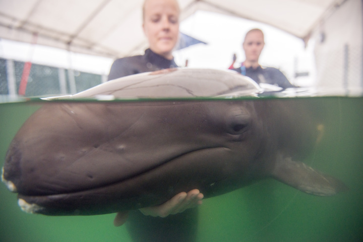 False Baby Whale's Health Improves