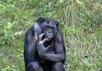 Chimpanzees Are Natural Murderers: Study