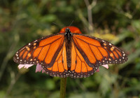 Photo by and (c)2007 Derek Ramsey (Ram-Man) - Own work (Own Picture) Photograph of the Monarch Butterflyen (Danaus plexippus en ) on a Purple Conefloweren (Echinacea purpurea en ). Photo taken at the Tyler Arboretum. Camera and Exposure Details: Camera: Nikon D50 Lens: Sigma 70mm f/2.8 EX DG Macro Exposure: 70mm (105mm in 35mm equivalent) f/11 @ 1/100 s. (200 ISO)
