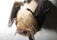 The northern long-eared myotis (Myotis septentrionalis) is a small bat, typically 5-10 g and 84 mm in total length. The fur is dull brown on the dorsum and yellowish on the venter. Compared to other Myotis species, these bats have long ears with a relatively long tragus in each ear.