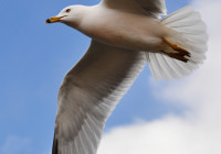 """Seagull in flight by Jiyang Chen"" by Jiyang Chen - Own work. Licensed under CC BY-SA 3.0 via Wikimedia Commons - http://commons.wikimedia.org/wiki/File:Seagull_in_flight_by_Jiyang_Chen.jpg#mediaviewer/File:Seagull_in_flight_by_Jiyang_Chen.jpg"