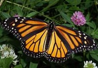 """Monarch In May"" by Kenneth Dwain Harrelson. Licensed under CC BY-SA 3.0 via Wikimedia Commons - http://commons.wikimedia.org/wiki/File:Monarch_In_May.jpg#mediaviewer/File:Monarch_In_May.jpg"