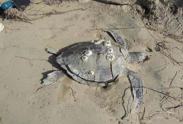 150 Sea Turtles Found Dead In A Lagoon Of Mexico