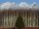 University of B.C. scientists say they have discovered why a certain type of fungus is killing poplar trees. A grove of poplar trees and the sunny snow- capped Golden Ears Mountains create a beautiful winter scene for locals in Pitt Meadows on Friday, December 17, 2010. Photograph by: Les Bazso , PNG Files