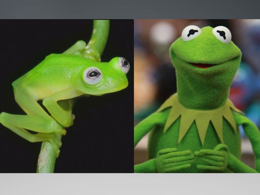 Meet Kermits Real Life Doppelganger ECanadaNow - Real life kermit the frog discovered in costa rica