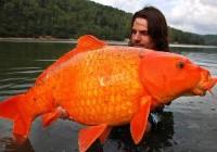 Massive Goldfish Invading Canadian Waterways