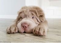 Shar Pei Puppy Has Over 100,000 Followers On Instagram