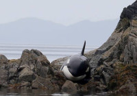 Stranded orca saved