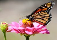 How do you build a biological compass small and reliable enough to direct a monarch butterfly on its amazing 4,500-kilometre migration from Canada to Mexico each fall? Scientists say they think they've figured that out.