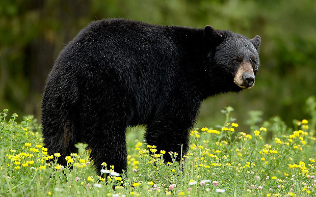 Marathon runner Attacked:  Woman Attacked By Black Bear