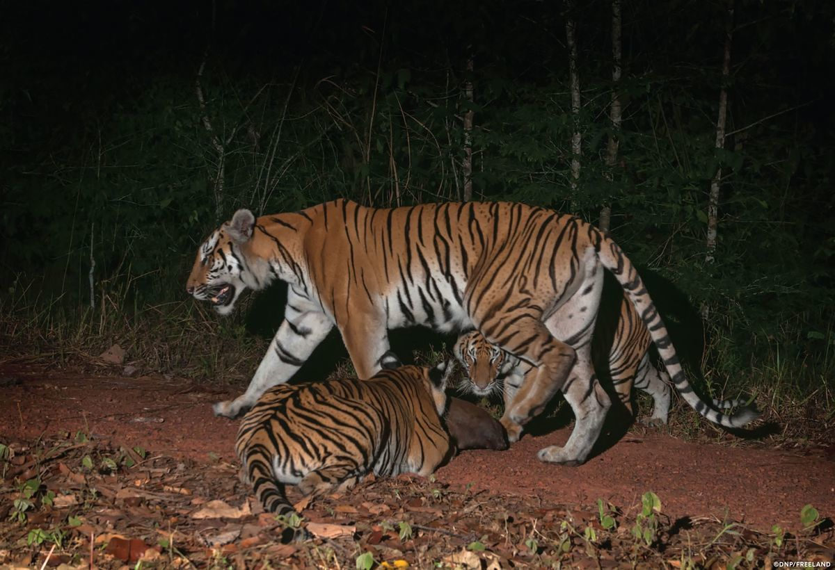 Indochinese tigers: New tiger families discovered in Thailand
