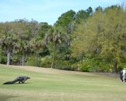 Massive Gator Meanders Across Golf Course