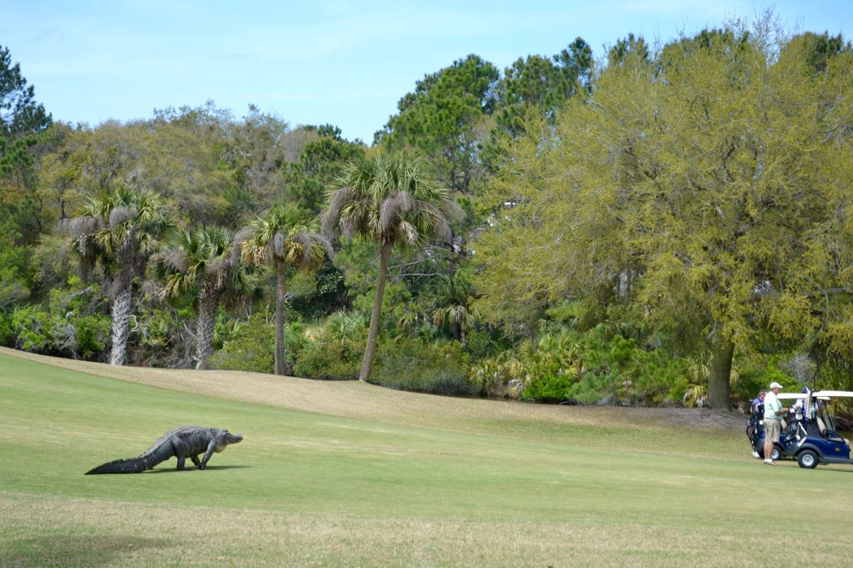Massive gator meanders across golf course ecanadanow for Big fish golf
