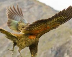 New Zealand Parrots Have Contagious 'Laughter'