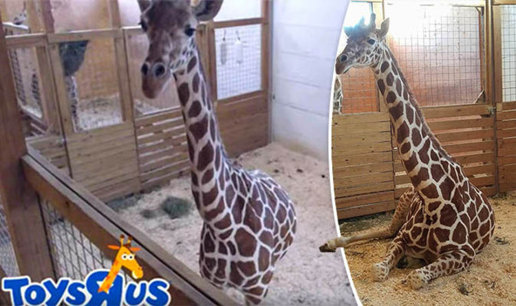 April The Giraffe LIVE Feed:  She's Very Close To Giving Birth (video)